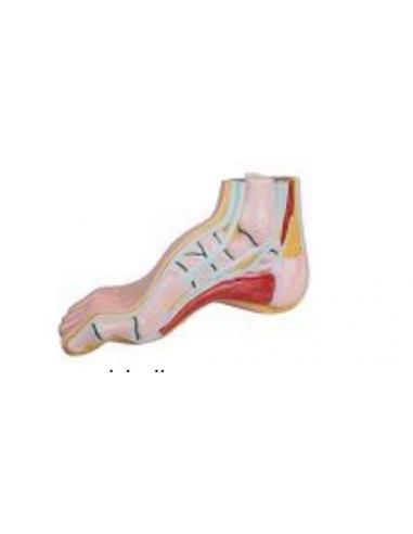 Professionelles Anatomiemodell mit Hohlfuß